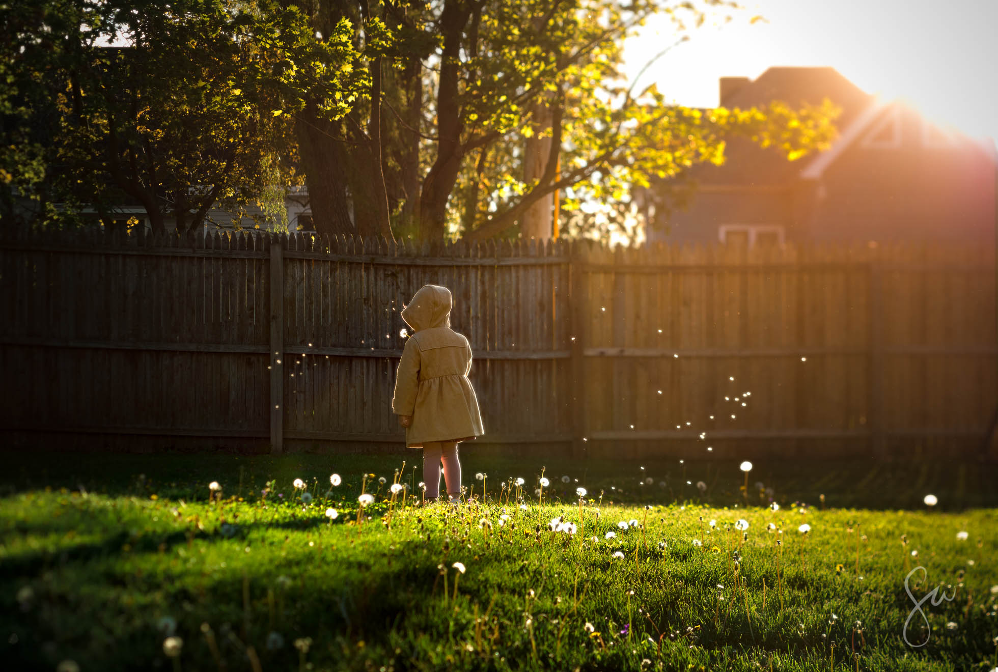 Children-Playing-with-Dandelions-in-the-Backyard-and-Blowing-Seeds-that-Look-Like-Snow-in-Backlighting-at-Golden-Hour-