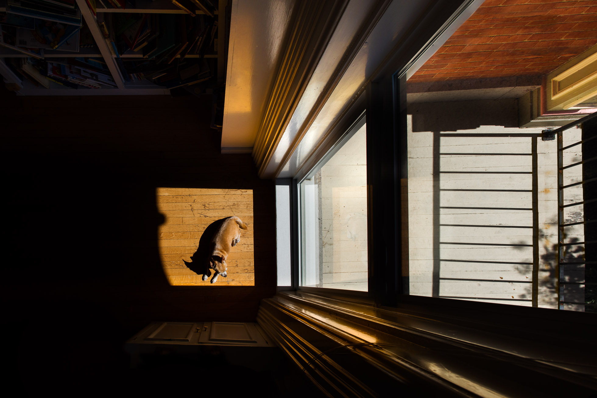 overhead-composition-with-chihuahua-lying-on-wood-floor-in-hard-sunlight-near-tall-window-of-old-house-by-sarah-wilkerson
